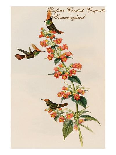 Rufous-Crested Coquette Hummingbird-John Gould-Art Print