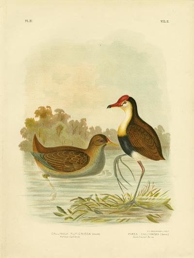Rufous Gallinule or Rufous-Tailed Waterhen, 1891-Gracius Broinowski-Giclee Print