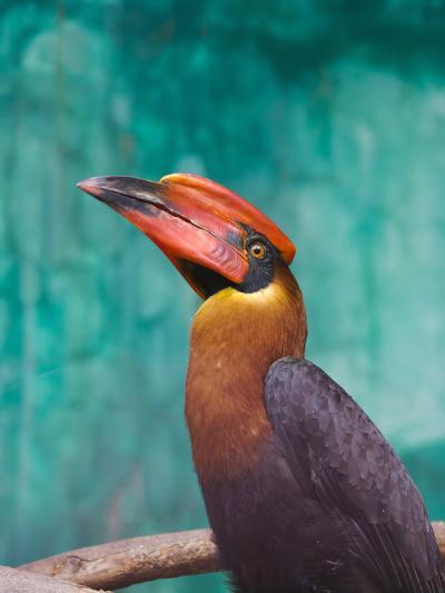 Rufous Hornbil Bird, Philippines-Keren Su-Photographic Print