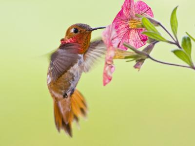 Rufous Hummingbird Feeding in a Flower Garden, British Columbia, Canada-Larry Ditto-Photographic Print