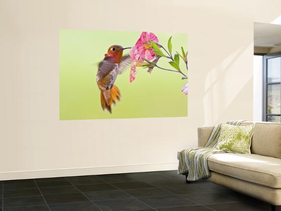 Rufous Hummingbird Feeding in a Flower Garden, British Columbia, Canada-Larry Ditto-Wall Mural