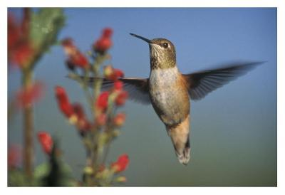 Rufous Hummingbird feeding on the nectar of a Desert Figwort New Mexico-Tim Fitzharris-Art Print