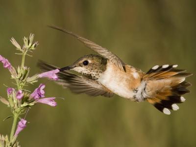Rufous Hummingbird Female (Selasphorus Rufus) Feeding at a Hyssop Flower (Agastache), Arizona, USA-Charles Melton-Photographic Print
