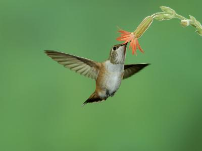 Rufous Hummingbird, Immature Feeding on Scarlet Gilia Paradise, Chiricahua Mountains, Arizona, USA-Rolf Nussbaumer-Photographic Print