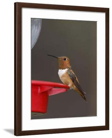 Rufous Hummingbird, Male at Feeder, Paradise, Chiricahua Mountains, Arizona, USA-Rolf Nussbaumer-Framed Photographic Print