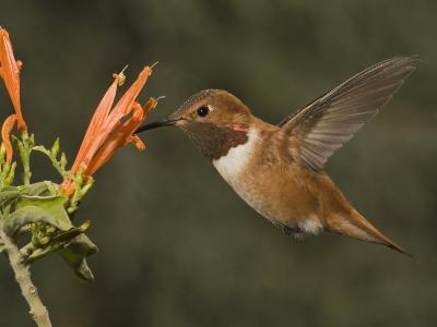 Rufous Hummingbird Male (Selasphorus Rufus) Feeding at Justicia Spicigera, Arizona, USA-Charles Melton-Photographic Print