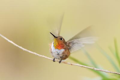 Rufous Hummingbird Male Takeoff-Larry Ditto-Photographic Print