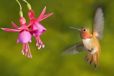 Rufous Hummingbird (Selasphorus Rufus), Canada.-Tim Zurowski-Photographic Print