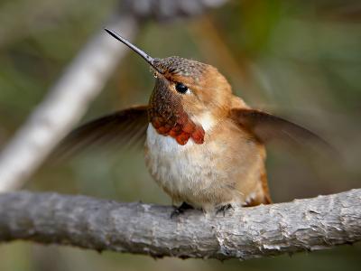 Rufous Hummingbird (Selasphorus Rufus), Near Nanaimo, British Columbia, Canada, North America-James Hager-Photographic Print
