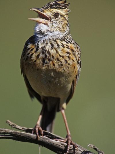 Rufous-Naped Lark Singing, Mirafra Africana, Masai Mara Game Refuge, Kenya, Africa-Joe McDonald-Photographic Print