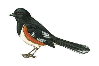 Rufous-Sided Towhee (Pipilo Erythrophthalmus), Birds-Encyclopaedia Britannica-Art Print
