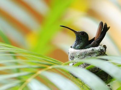 Rufous-Tailed Hummingbird (Amazilia Tzacatl) Sitting in Nest-Shannon Nace-Photographic Print