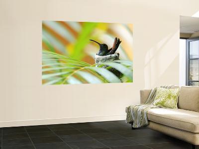 Rufous-Tailed Hummingbird (Amazilia Tzacatl) Sitting in Nest-Shannon Nace-Wall Mural