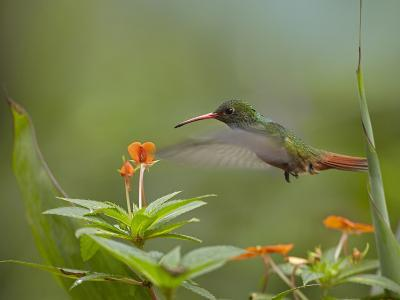 Rufous-Tailed Hummingbird, Costa Rica-Tim Fitzharris-Photographic Print