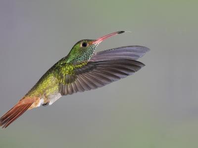 Rufous-tailed Hummingbird-Arthur Morris-Photographic Print