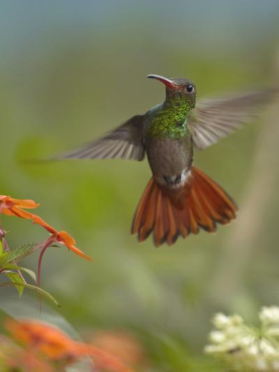 Rufous-Tailed Hummingbird-Tim Fitzharris-Photographic Print