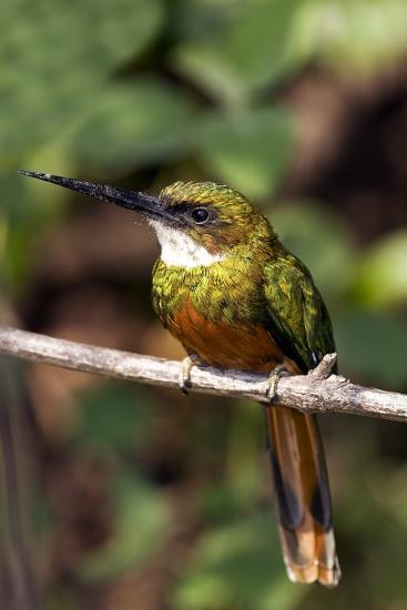 Rufous-tailed Jacamar Male-Tony Camacho-Photographic Print