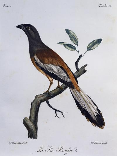 Rufous Treepie (Dendrocitta Vagabunda)--Giclee Print