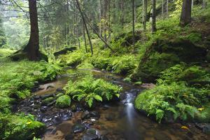 Ferns Growing on Rocks by the Krinice River, Kyov, Bohemian Switzerland Np, Czech Republic by Ruiz