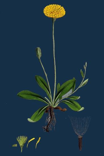 Rumex Obtusifolius; Broad-Leaved Dock--Giclee Print
