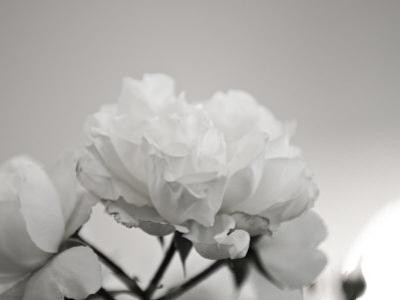 Close-Up of White Roses by Rune Johansen