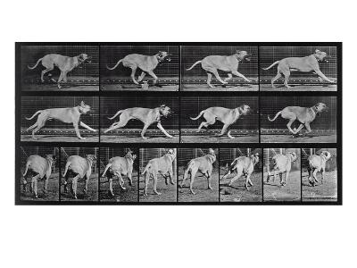 Running Dog, Plate 707 from 'Animal Locomotion', 1887 (B/W Photo)-Eadweard Muybridge-Giclee Print