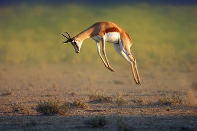 Running Springbok Jumping High - Antidorcas Marsupialis - Kalahari - South Africa-Johan Swanepoel-Photographic Print