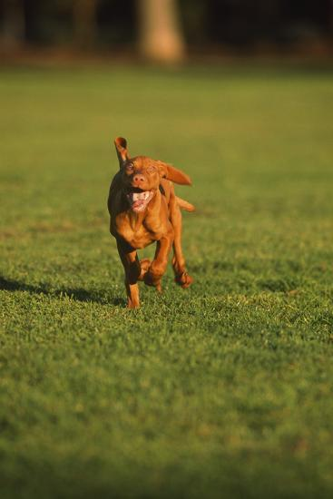 Running Viszla Puppy-DLILLC-Photographic Print