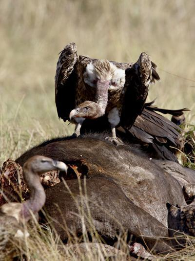 Ruppell's Griffon Vulture Atop a Cape Buffalo Carcass-James Hager-Photographic Print