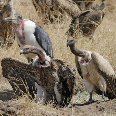 Ruppell's Griffon Vulture (Gyps Rueppellii) and Marabou Stork (Leptoptilos Crumeniferus--Photographic Print