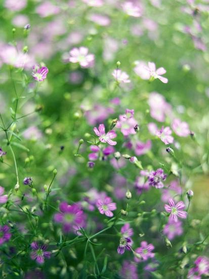 Ruprecht's Herb, Geranium Robertianum, Blossoms, Cranesbill Familys, Flowers-S. Uhl-Photographic Print