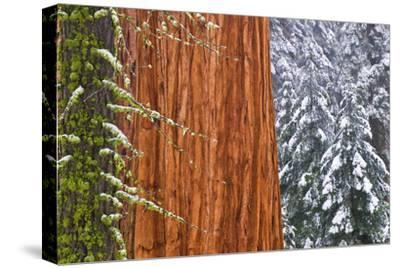 California, Giant Sequoia in Winter, Giant Forest, Sequoia National Park