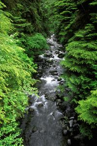 Dense forest along Howe Creek in the Quinault Rain Forest, Olympic National Park, WA. by Russ Bishop