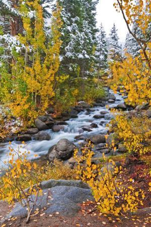Fresh Snow on Aspens and Pines Along Bishop Creek, Inyo National Forest, California by Russ Bishop