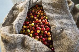 Harvested Coffee Cherries in a Burlap Sack, Kona Coast, the Big Island, Hawaii, Usa by Russ Bishop