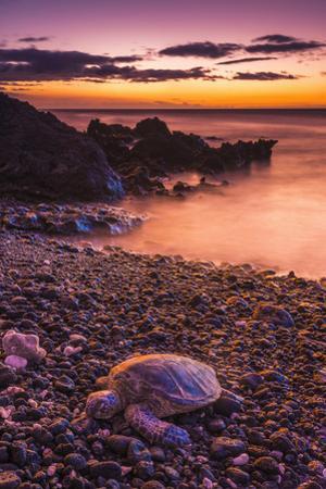 Hawaiian Green Sea Turtle on a Lava Beach at Sunset, Kohala Coast, the Big Island, Hawaii by Russ Bishop