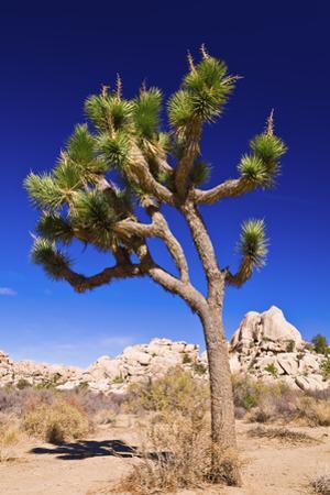 Joshua tree and boulders, Joshua Tree National Park, California, USA by Russ Bishop