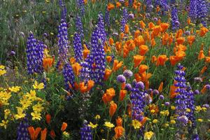 Lupines and California poppies in the Tehachapi Mountains, Angeles NF, CA by Russ Bishop