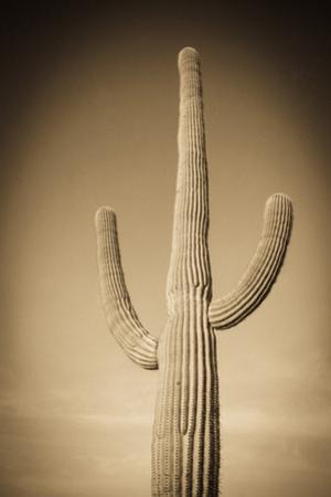 Morning Light on Saguaro Cactus under Gates Pass, Tucson Mountain Park, Arizona, Usa by Russ Bishop