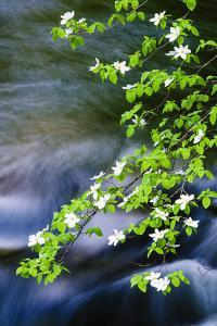 Mountain Dogwood Above the Merced River, California, Usa by Russ Bishop