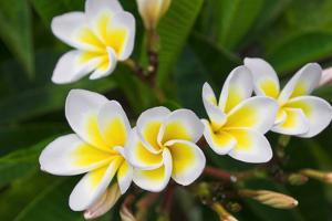 Plumeria Flowers, Island of Kauai, Hawaii by Russ Bishop
