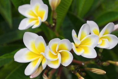 Plumeria Flowers, Island of Kauai, Hawaii by Russ Bishop