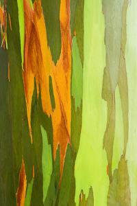 Rainbow Eucalyptus Bark, Island of Kauai, Hawaii, Usa by Russ Bishop