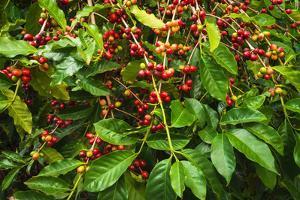 Red Kona Coffee Cherries on the Vine, Captain Cook, the Big Island, Hawaii, Usa by Russ Bishop