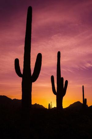 Saguaro Cactus at Sunrise under Gates Pass, Tucson Mountain Park, Arizona by Russ Bishop