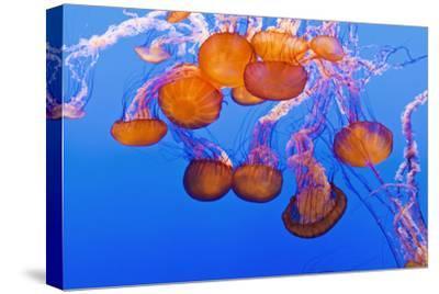 Sea Nettles, Monterey, California, Usa