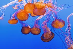 Sea Nettles, Monterey, California, Usa by Russ Bishop