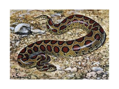 Russel's Viper (Daboia Russelii), Viperidae, Drawing--Giclee Print