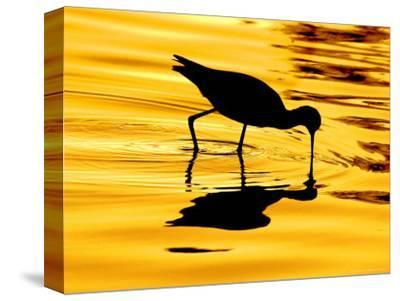 Avocet Silhouette at Sunrise