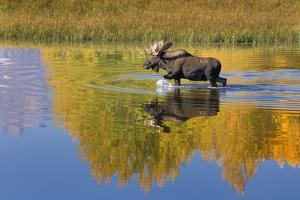 Bull Moose in Grand Teton NP in Autumn by Russell Burden